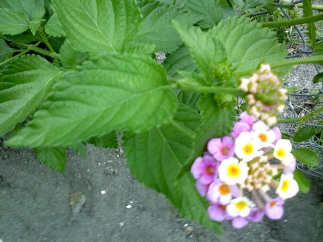 q plant, gardening