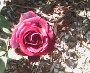 Beautiful dark red