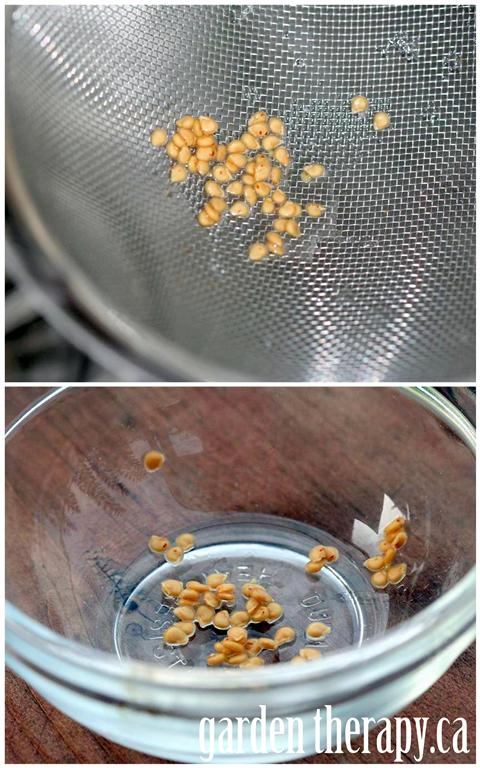 Step 3: rinse off the seeds, dry and store for next spring.