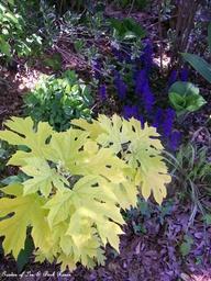 "Chartreuse oakleaf hydrangea ""Little Honey"" and ajuga in April."