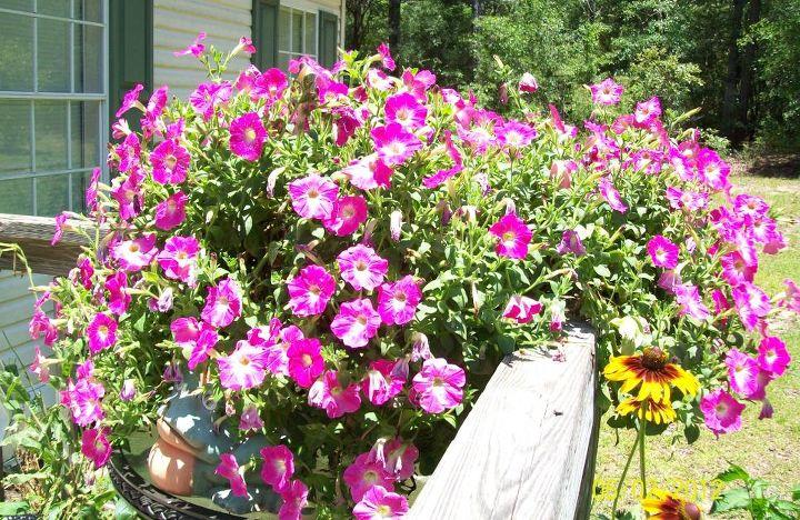 petunia pink morn, gardening