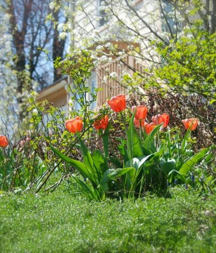 Tulip 'Apricot Impression' and our white-flowering ornamental pear trees.