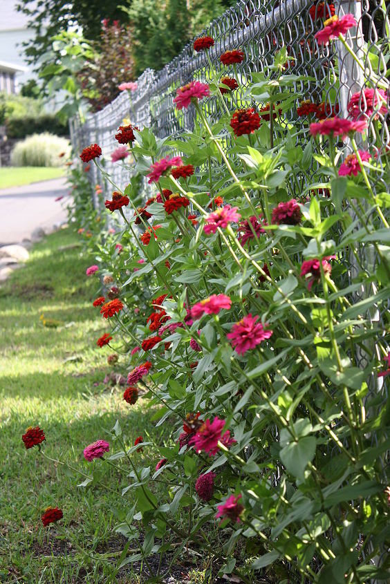 Zinnia's, the more you cut the faded flowers, the longer they promote flowers and will last til Late Fall.