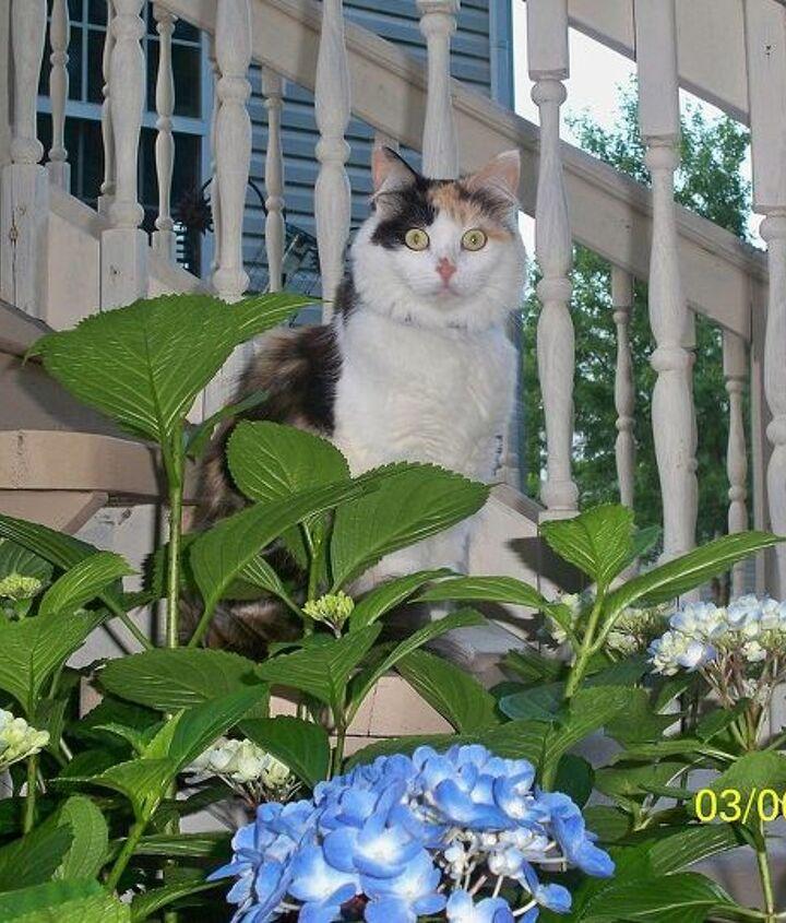 Miss Cleo hiding in the Hydrangeas. She's the Garden Supervisor!!