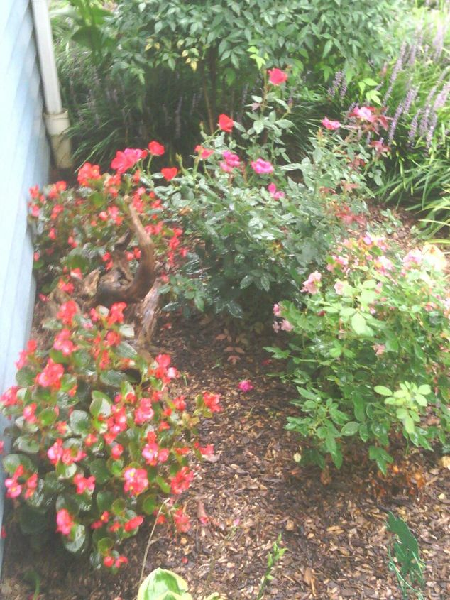 My begonias and roses!