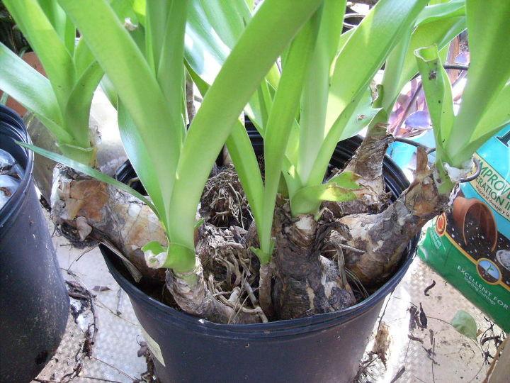 last fall a neighbor gave me some amaryllis bulbs i never got around, gardening