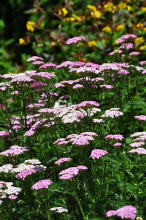 great perennials for sun all of them deer resistant, flowers, gardening, perennials