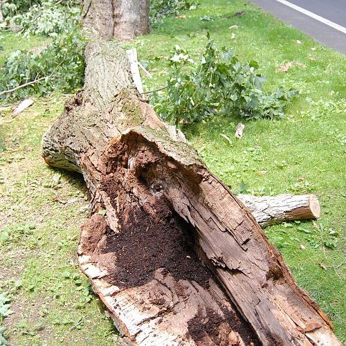 Much of the wood falling in a storm has interior damage by insects