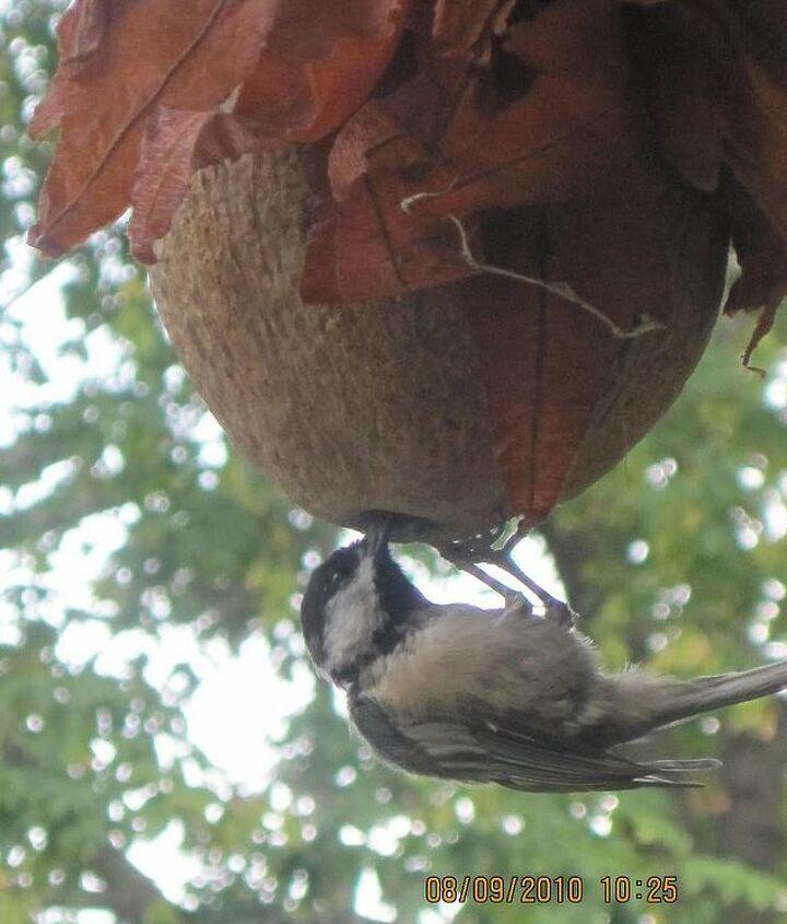 make a coconut bird feeder, crafts, gardening