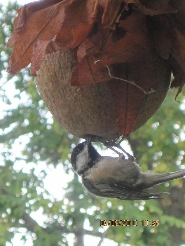 make a coconut bird feeder, crafts, gardening