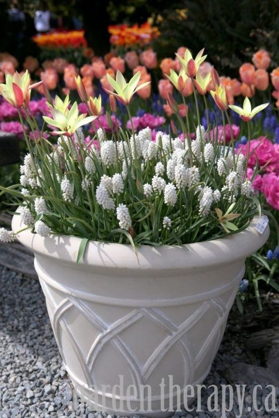 Layering bulbs like these white grape hyacinths and yellow tulips creates a show-stopping planter for your front door.