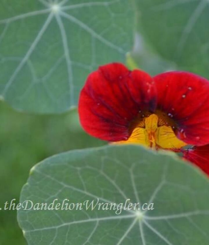 Nasturtium in bloom. An excellent addition to and vegetable or flower garden.