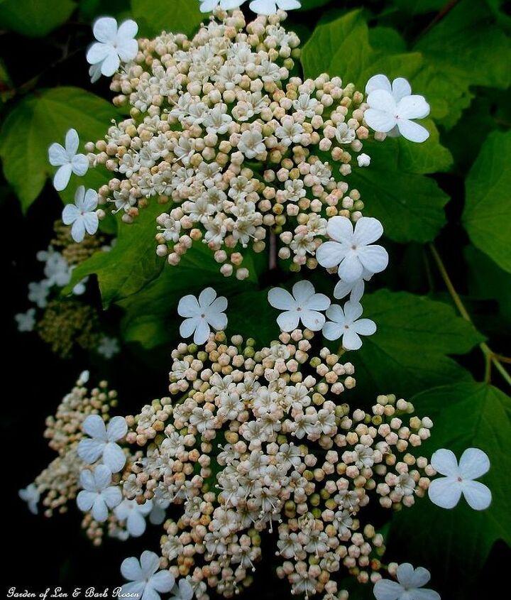 Viburnum blooming