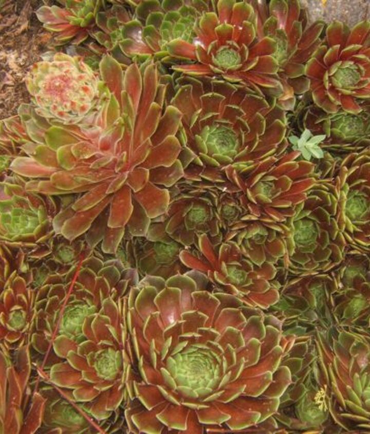 Hens & Chicks are soooo easy to grow in the rock garden.
