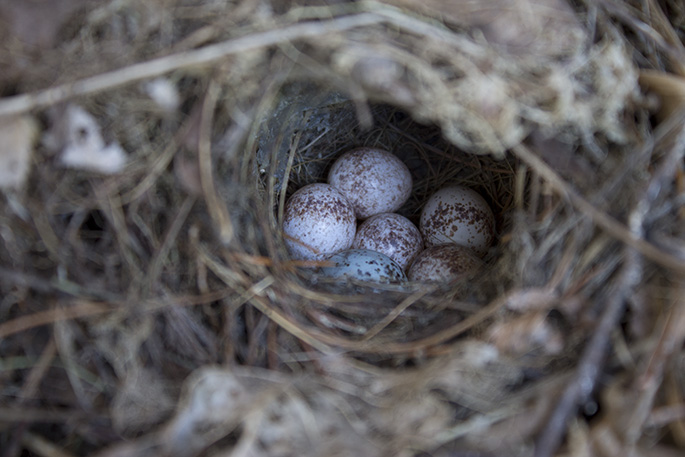 can someone tell me what bird this is, pets animals, The eggs