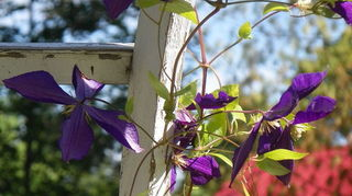 clematis will it live or will it not, container gardening, flowers, gardening, and More blooms