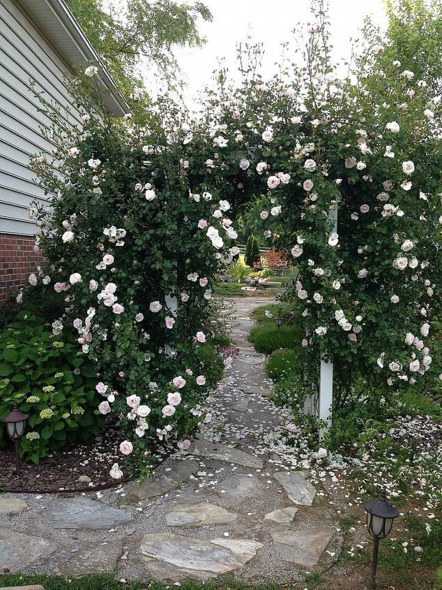 Ha ha! Just thought I'd let you see something out of control! Yes,I have trimmed them up; my husband said nobody wanted to walk under there! It was hard for me to trim those beautiful roses off so I waited until the first rush was gone