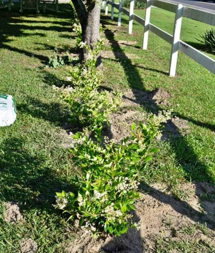 We planted 27 waxleaf ligustrums to create a hedge around our property.