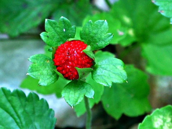 Another beautiful wild strawberry.