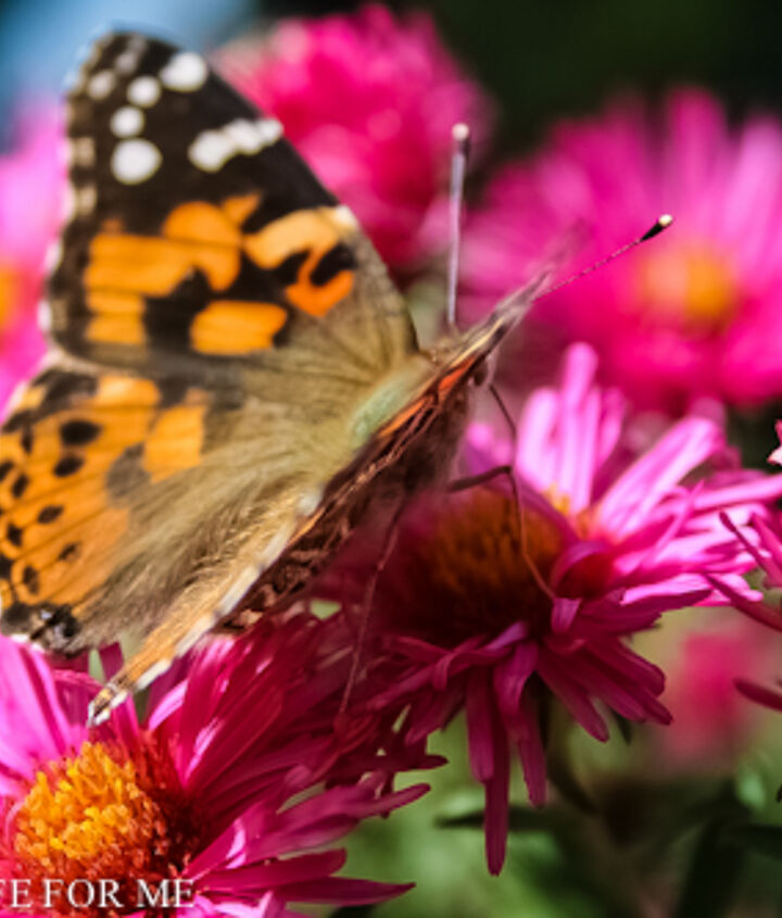 Painted Lady on Fall Aster @ ahealthylifeforme.com or http://www.facebook.com/ahealthylifeforme