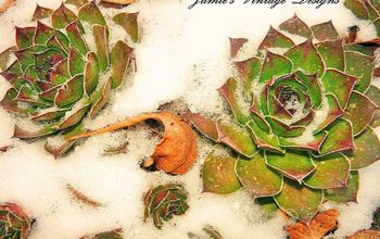 January Garden: Sempervivum/ Succulents/ Hens and Chicks/ S. Tectorum