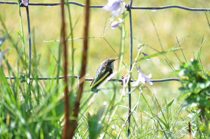 humming bird a little lost, pets animals, Female Ruby Throated Hummingbird