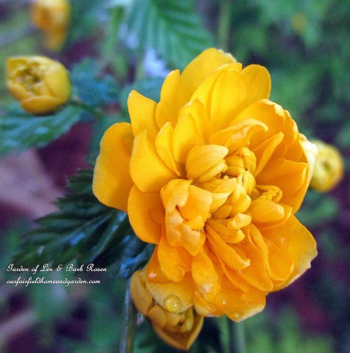 what s blooming in the garden today, flowers, gardening, Double Kerria Flower