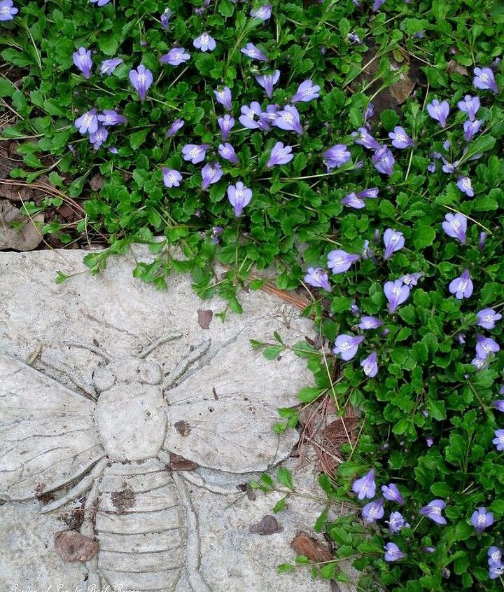 Mazus groundcover and a bee stepping stone