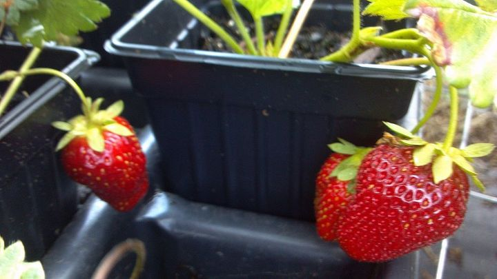 Strawberry pots work best, but we have grown productive strawberry plants in a great variety of containers.  Always outside though.