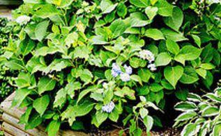 how to start hydrangeas from cuttings, container gardening, flowers, gardening, hydrangea