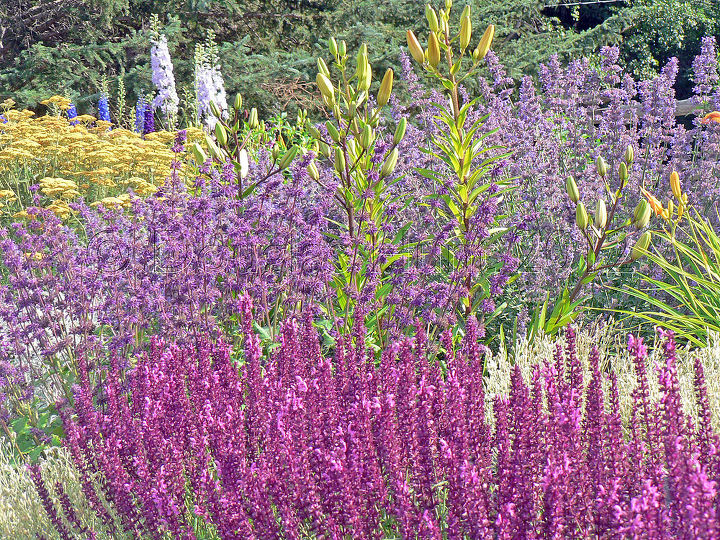 A dazzling display of Salvias and Nepetas.
