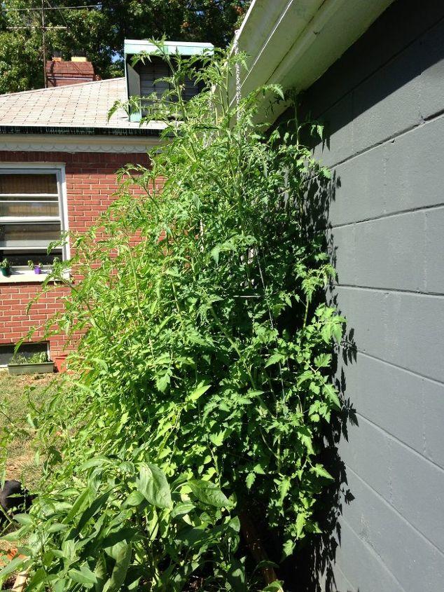 q rookie tomato mistakes, gardening, raised garden beds