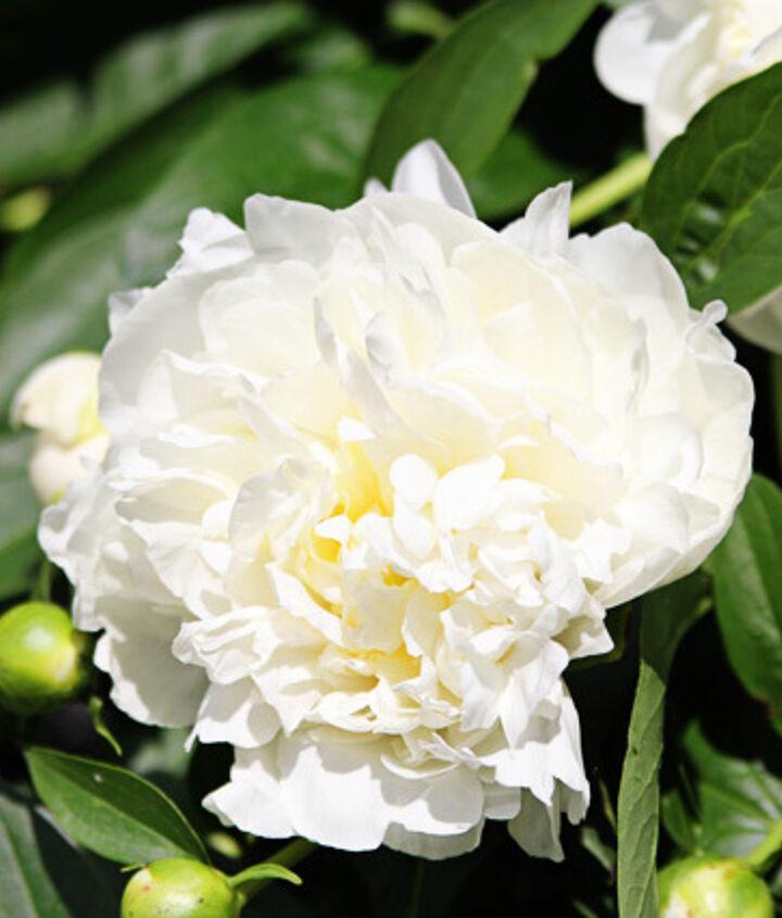 Duchesse de Nemours peony - gorgeous white blooms