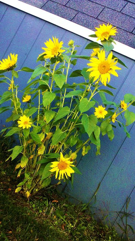sunflower growing bigger at the place i never planted, gardening, Sunflower