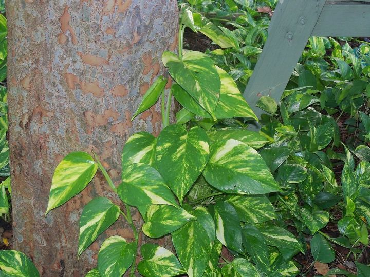 will these creeping vines do harm to my trees, gardening, landscape, pothos on my elm tree
