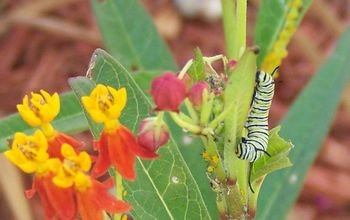 Counted 19 Monarch caterpillars as of this morning.