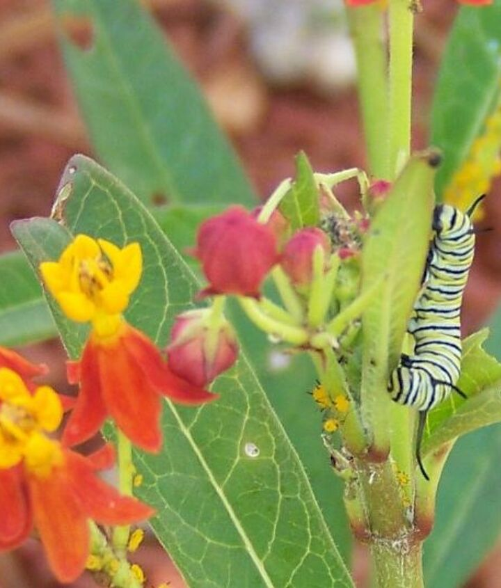 counted 19 monarch caterpillars as of this morning, gardening