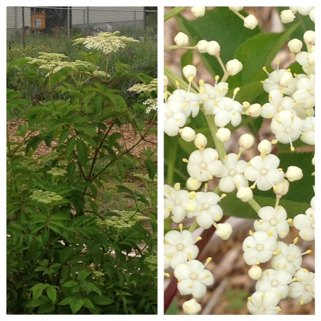 Elderberry in bloom.  I know...why plant it when it grows wild here?  I can just go into my backyard instead of rambling around in a swamp.