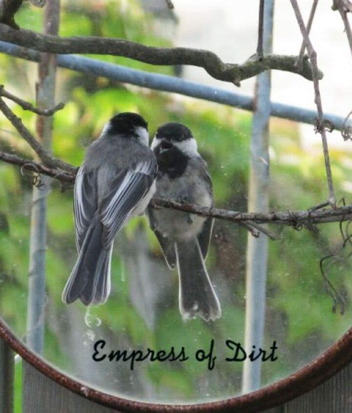 This mirror is actually a lazy susan hung on the garden gate. Chickadee has a new best friend.