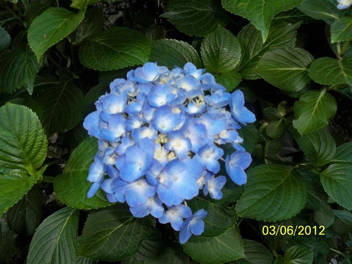 my hydrangeas, flowers, gardening, hydrangea