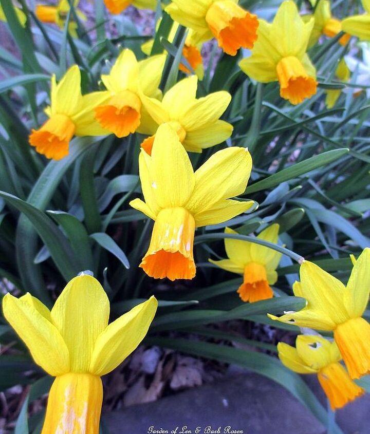 """""""Jet Fire"""" Daffodils"""