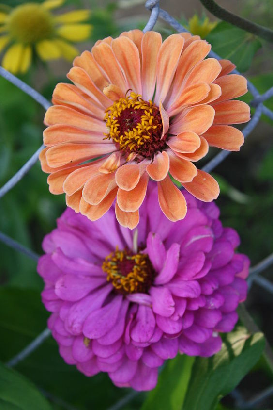 Zinnia (The more you deadhead the faded flowers, the more branches that sprout and flowers bloom.)  Take the faded flowers and stick elsewhere in the dirt and it will reseed itself and most likely bloom in the same season. I still have flowers growing up from last year. Despite being Annuals, reseeding can turn them into perennias.