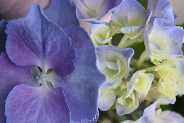 Hydrangea......Perennials.