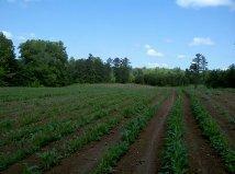 my corn garden, gardening
