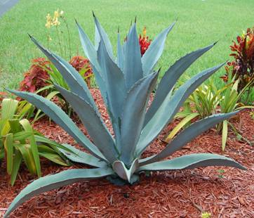 q blue agave in georgia