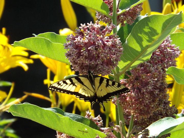 our garden, container gardening, flowers, gardening, hibiscus