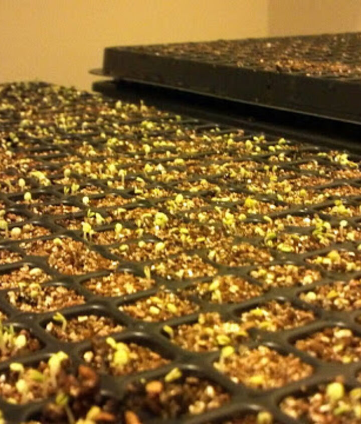 Cover them with vermiculite and  something to hold in the moisture like another tray.