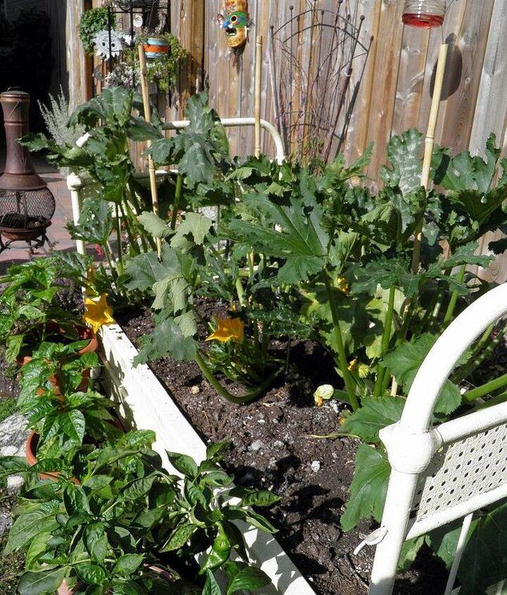 Zuchinni raised bed planter in full sun.