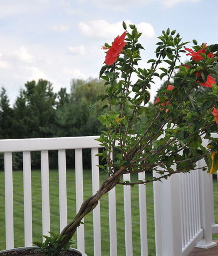 The leaning tower of hibiscus. We probably should stake this...
