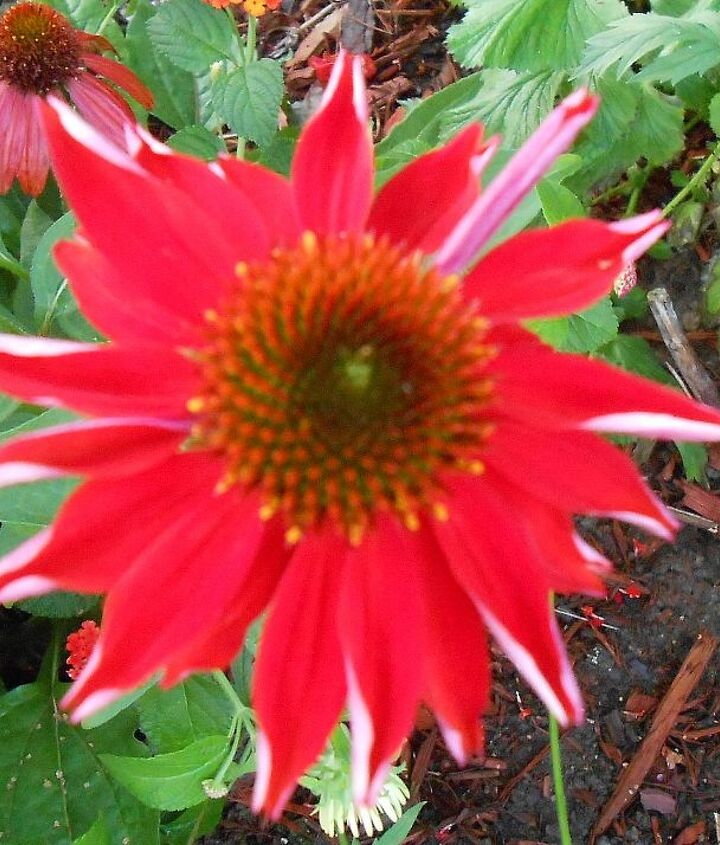 Echinacea - red with white slightly furrowed petals..wow!